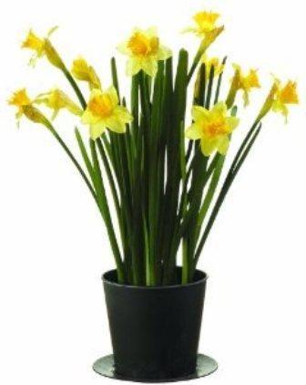 Як виростити кімнатну квітку (цибулинних)?